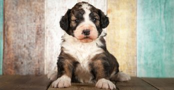 Bernedoodle – The Bernese Mountain Dog Poodle Mix