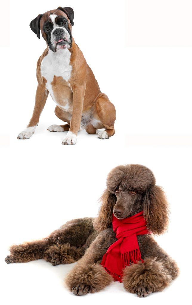 Boxerdoodle: a Boxer Poodle mix