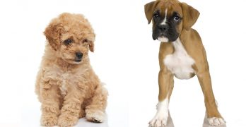 Boxerdoodle – Your Guide To The Boxer Poodle Mix