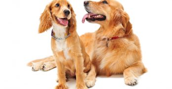 Is The Golden Cocker Retriever The Perfect Pet Dog?