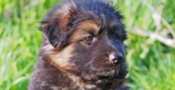 Is The Shiloh Shepherd The Ideal New German Shepherd Strain?