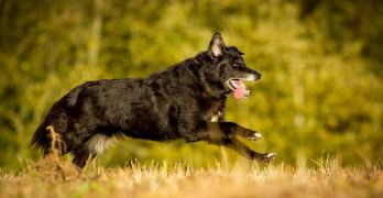 The Shollie – A German Shepherd Border Collie Mix