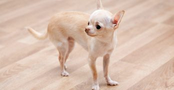 Teacup Chihuahua – Is This Tiny Pup The Perfect Pet For You?