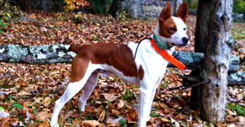 Feist Dog: The Unusual Pup That Looks like a Tall Jack Russell Terrier