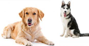 Husky Golden Retriever Mix: Unusual Cross or Killer Combination?