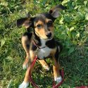 Meagle: The Miniature Pinscher Beagle Mix