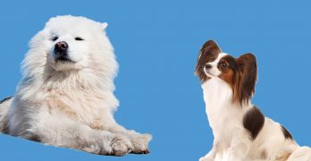 Papimo: The Papillon American Eskimo Mix